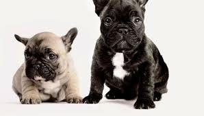 2 bulldogs