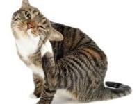 PET CHECK BLOG - Cat scratching due to fleas,