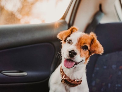 PET CHECK BLOG - Jack Russell dog in car