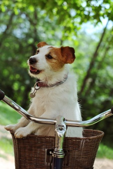 Dog in cycle basket