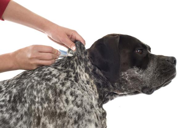 PET CHECK BLOG - Dog having routine flea treatment