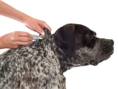 PET CHECK BLOG - Dog having flea treatment