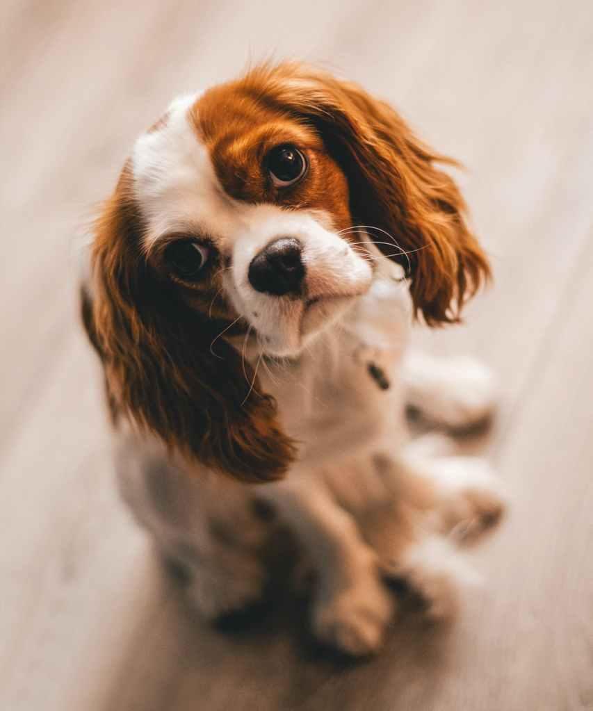 Cavalier King Charles Spaniel, dog,