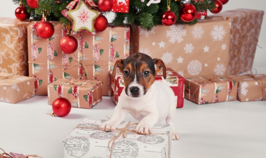 Jack Russell Dog ready to tear open a Christmas present under the tree