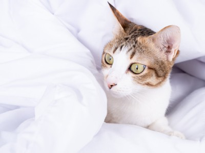 PET CHECK BLOG - Cat wrapped in a duvet