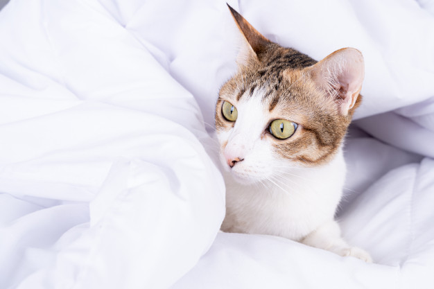 PET CHECK BLOG Cat wrapped in a duvet