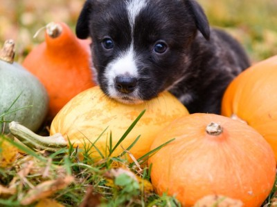 PET CHECK BLOG - Autumn -Dog sitting amongst pumpkins