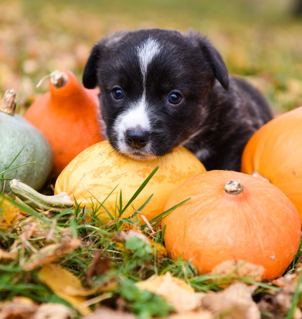 Dog sitting amongst pumpkins