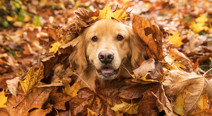 Dog in pile of fallen leaves