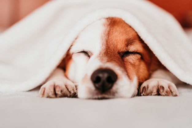 Jack Russell dog under a warm blanket
