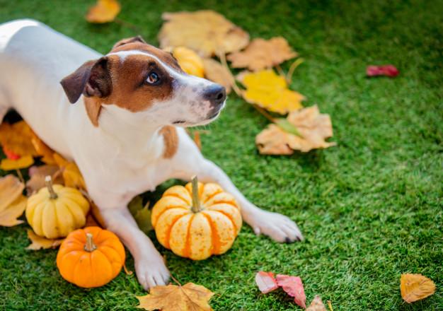 Dog sitting amongst pumpkins