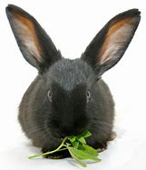 Rabbit munching on greens
