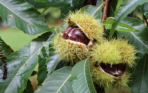 Sweet Chestnut tree with sweet chestnut fruits slightly open ready for picking