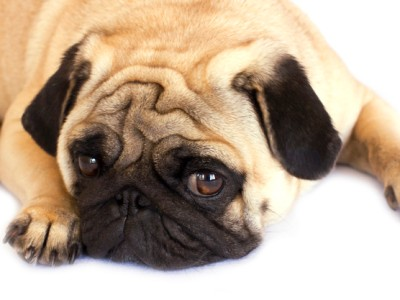 PET CHECK BLOG An unhappy pug dog