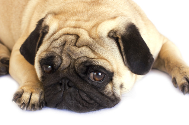An unhappy pug dog