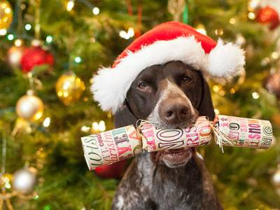 PET CHECK BLOG - Dog with Christmas Cracker