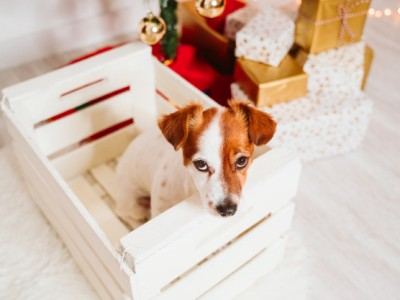PET CHECK BLOG - Jack Russell dog looking naughty by presents