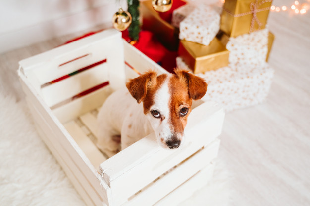 Jack Russell dog looking naughty by presents