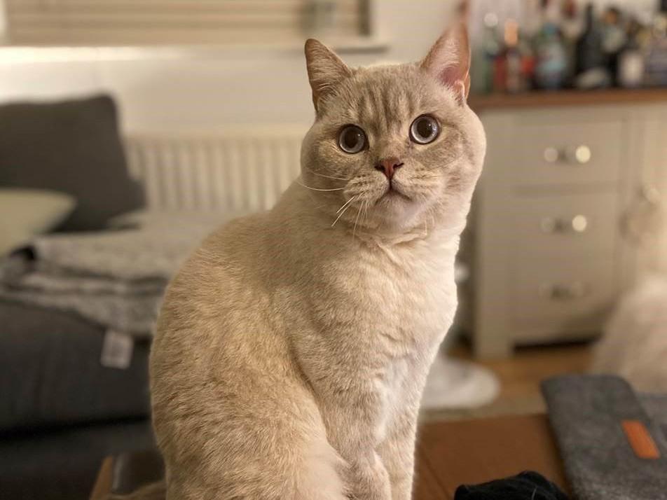 Hendrick The Cat who ate 3' wrap ribbon