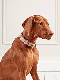 Dog wearing a luxury collar