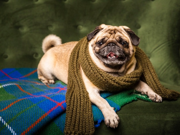 Pug wrapped up in scarf
