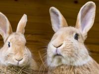 2 rabbits in hutch