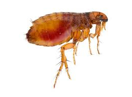 PET CHECK BLOG - Close up of a Flea