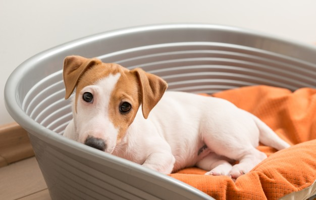 Jack Russell dog in his bed
