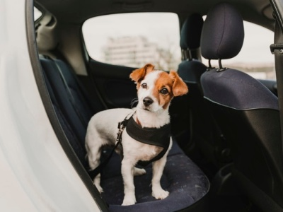 PET CHECK BLOG - Jack Russell Dog in harness in car