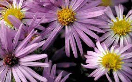 PET CHECK BLOG Asters