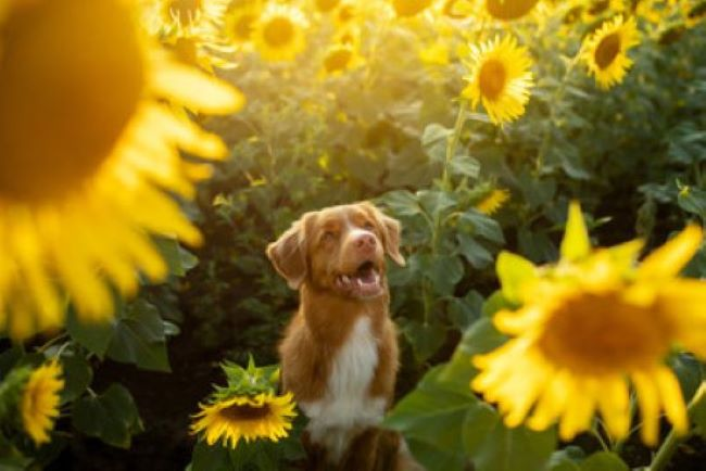 PET CHECK BLOG Labrador dog surrounded by sunflowers In the garden