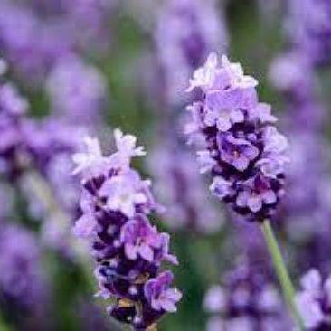 PET CHECK BLOG lavender