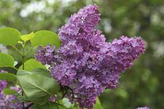 PET CHECK BLOG Lilac