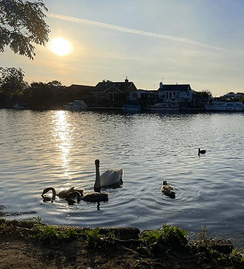 PET CHECK BLOG Swans and cygnets swimming at Walton-on-Thames summer evening